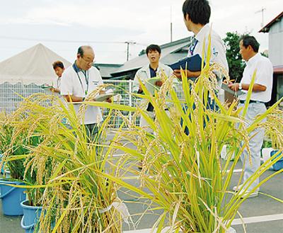 バケツ稲を品評