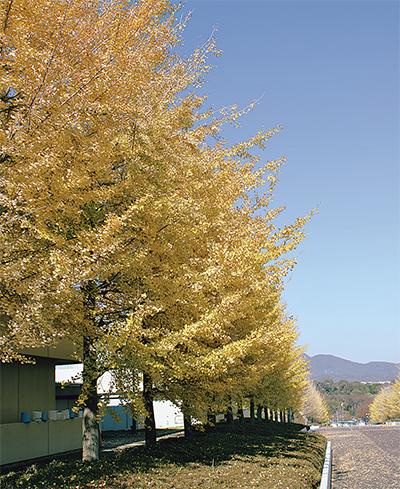 金色に染まるキャンパス