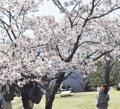 早咲きの桜 満開