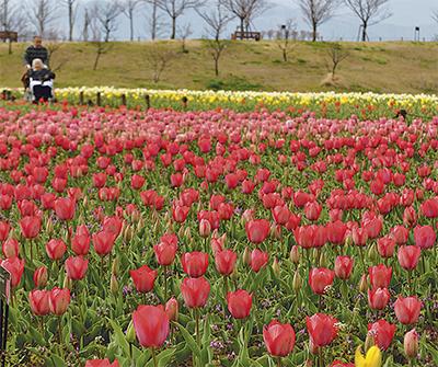 春の訪れ彩るチューリップ