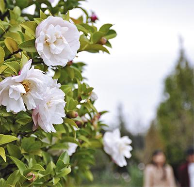 早咲きサザンカ開花