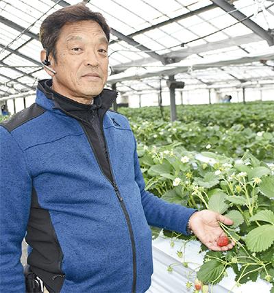 収穫本番 平塚イチゴ