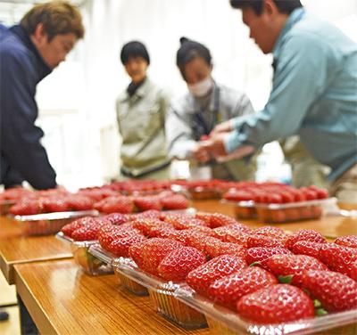 地場産イチゴ 出来競う