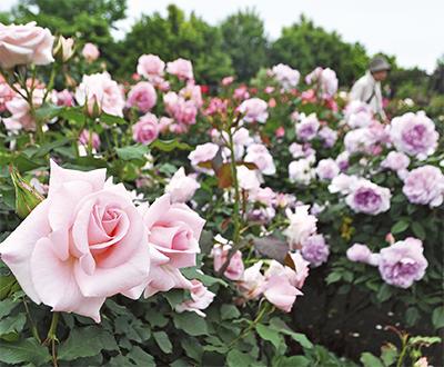咲き誇るバラ見頃