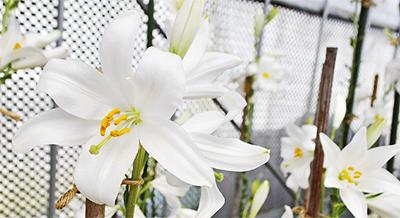 純白の花弁輝くマドンナリリー