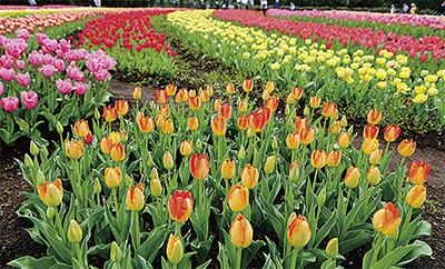 春風に染まる7万本