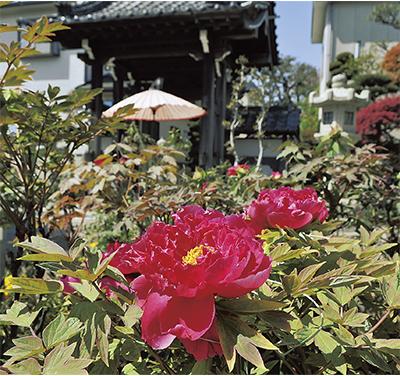 「牡丹寺」に春の彩り