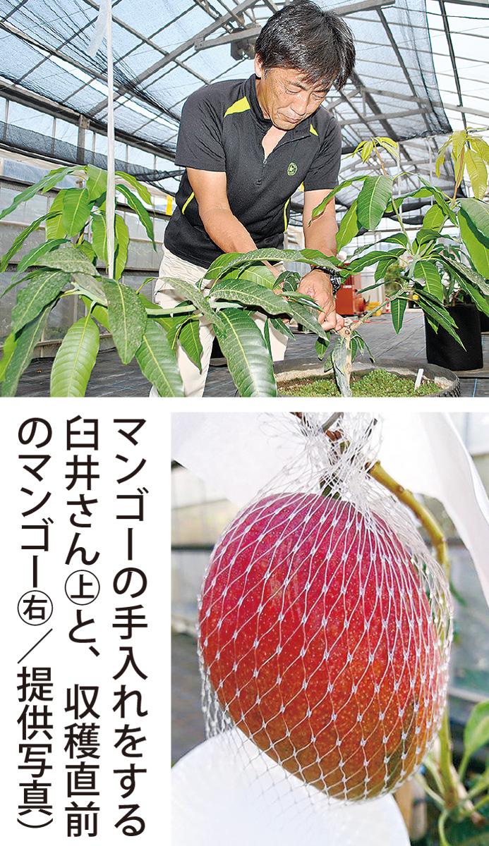 県内初の鉢植えマンゴー