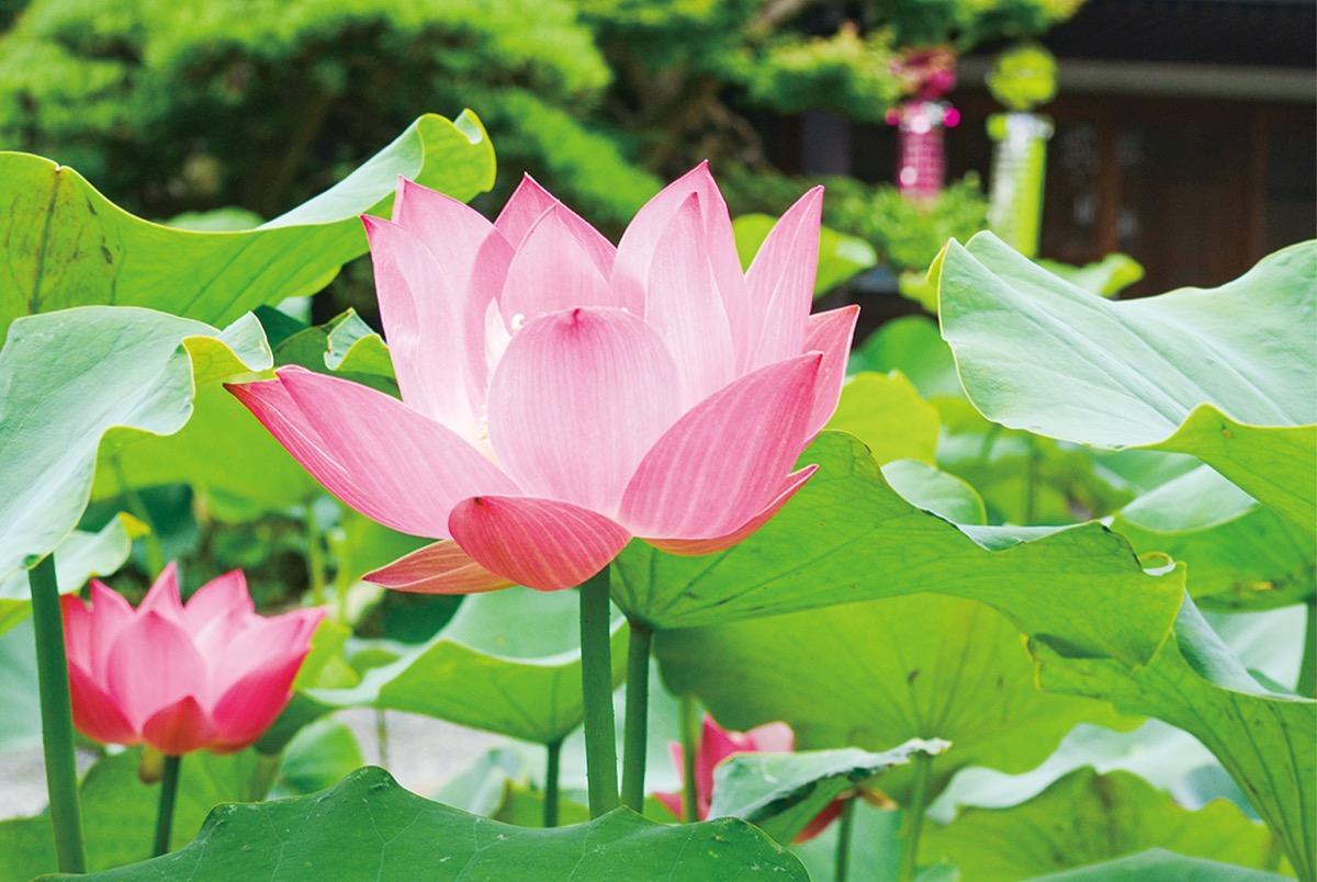 夏の始まり告げる薄紅 要法寺でハス開花 | 平塚 | タウンニュース