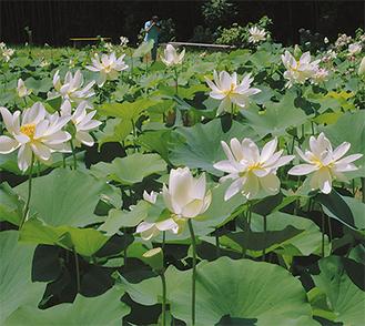 夏の間におよそ千株を超える蓮が咲き誇る「中井蓮池の里」(7月16日撮影)