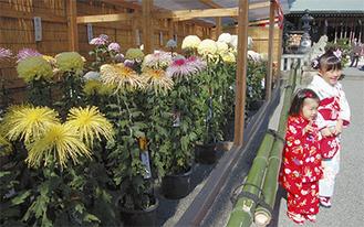 七五三の子どもを祝うように咲いた大輪の菊花