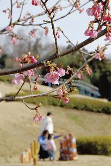 中井中央公園の河津桜(3月20日撮影)