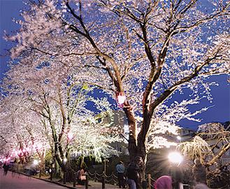 ライトアップされた葛川沿いの桜