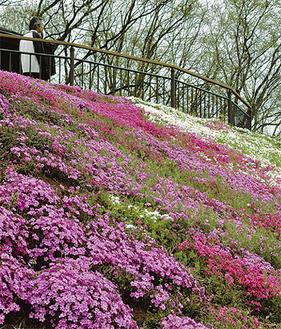 中井中央公園で咲く芝桜(4月16日撮影)
