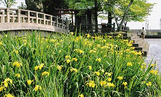 東の池に咲いた黄菖蒲(5月14日撮影)