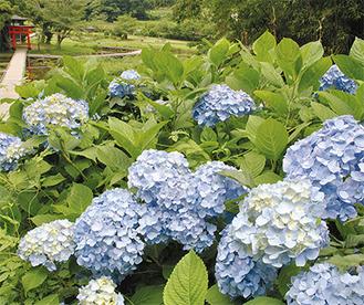 梅雨の晴れ間に厳島湿生公園の石段の脇で咲くアジサイ(6月18日撮影)
