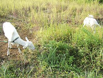 雑草を食べ、土地はきれいに