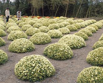 等間隔に整列して咲くざる菊(11月5日撮影)。菊園の中に入って間近で観賞することができる