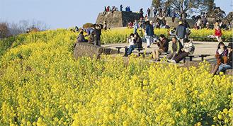 菜の花が満開になった吾妻山公園(1月20日撮影)