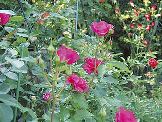 オーガニックで育てているので香りが際立つ。敷地には果物や野菜の栽培も
