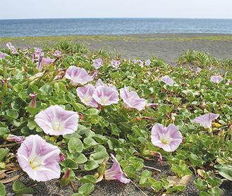 北浜海岸で潮風に揺れるハマヒルガオ(5月25日撮影)