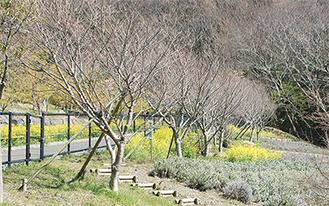 南駐車場から多目的広場に向かう上り坂の道沿いに植えられたコヒガンザクラ(3月24日撮影)
