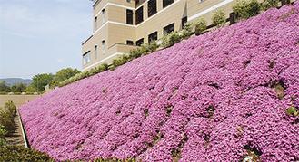 咲き誇る芝桜 4月25日撮影
