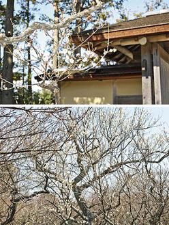 旧吉田茂邸庭園の梅(上)と蘇峰堂の老木(2月6日撮影)