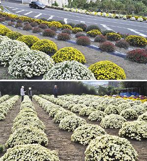 大磯運動公園北側のざる菊(写真上、10月31日撮影)と善波さん宅のざる菊(11月1日撮影)