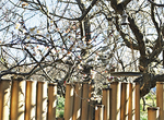 庭園入り口にも可憐な梅の花が