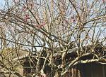 梅園奥に咲く紅梅