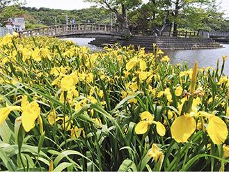 立夏を迎えて東の池に咲く黄菖蒲(5月7日撮影)