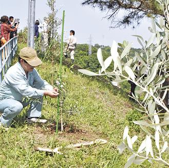 オリーブの苗木を植える参加者