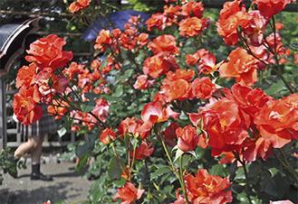 鮮やかな花をつけるプリンセスミチコ(5月14日撮影)