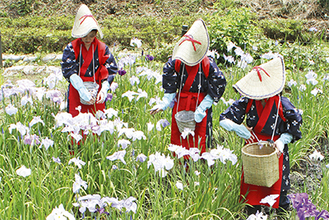 花がらを取り除く花摘み娘(6月4日撮影)