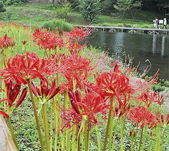 中井町の厳島湿生公園で開花した彼岸花(9月19日撮影)