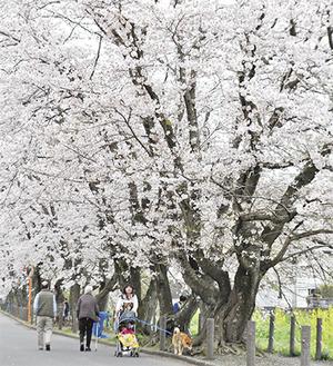 葛川沿いの桜並木を歩く人(二宮町で10日撮影)