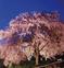 滝桜 降り注ぐ