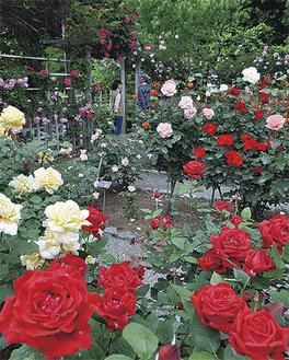 色とりどりのバラが咲き誇る  =5月7日撮影
