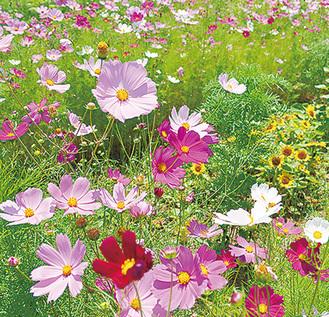 遊休農地の花畑