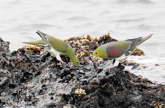 海水を飲むアオバト(写真提供/金子典芳さん)
