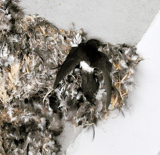 巣に止まるヒメアマツバメ=11月17日撮影