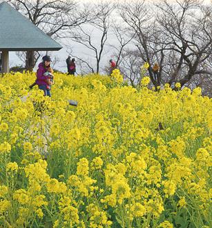 吾妻山に咲く菜の花(1月7日撮影)