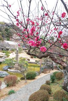 旧吉田茂邸日本庭園の梅(1月25日撮影)