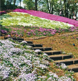 園内の斜面に咲くシバザクラ(4月15日撮影)