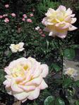 旧吉田茂邸バラ園のバラ