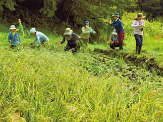 再生した棚田で稲刈りをする「二宮農園」の有志たち