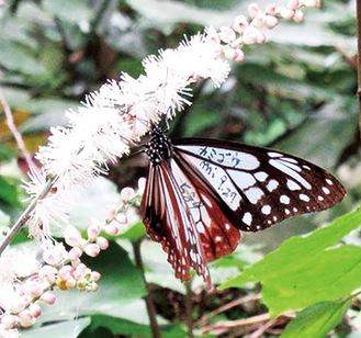 イヌショウマの花の蜜を吸うアサギマダラ。羽にマーキングがある=熊澤誠子さん撮影