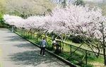 開花時期の大磯小桜(写真は過去)