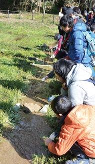 ホタルの幼虫を水路に放す参加者=厳島湿生公園